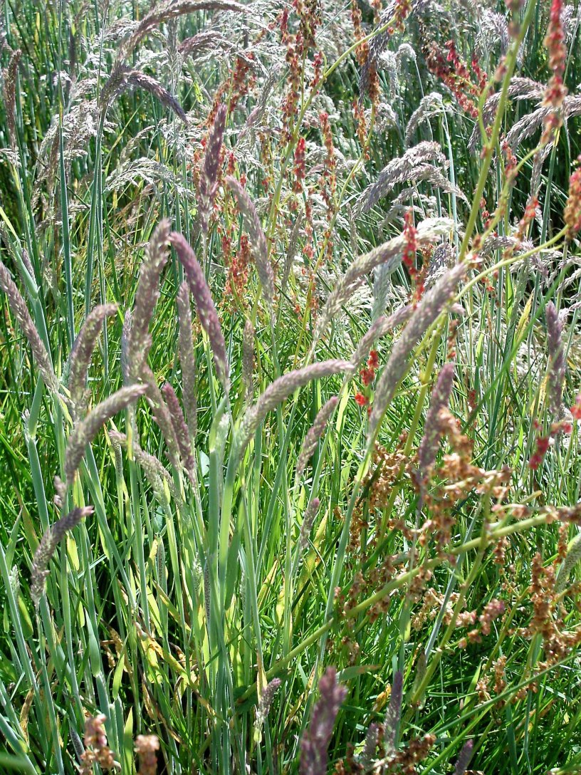 Devon summer grasses in culm meadow