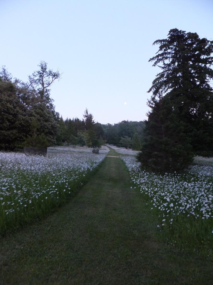 Midsummer moonlight on daisies