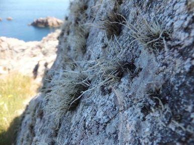 Orchil lichen?
