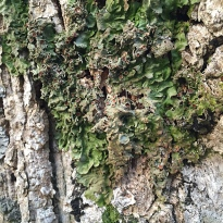 Lobaria pulmonaria, or lungwort. This lichen is endangered and should not be used for dyeing
